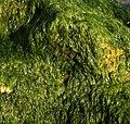 Algae on stone.jpg