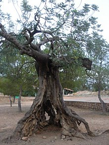 Ceratonia Siliqua Wikipedia La Enciclopedia Libre