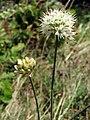 Allium ericetorum 01.jpg