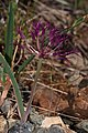 Allium falcifolium 4571.JPG