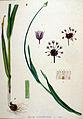 Allium scorodoprasum — Flora Batava — Volume v19.jpg