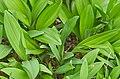 Allium victorialis ÖBG Bayreuth 02.jpg