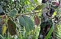 Alloplectus weirii (14510205303).jpg