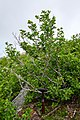 Alnus alnobetula suaveolens, the endemic green alder of Corsica.jpg