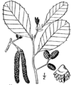 Alnus incana rugosa illustr.png