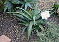 Aloe sinkatana - Botanischer Garten - Heidelberg, Germany - DSC01328.jpg