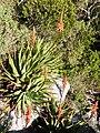 Aloe succotrina - Cape Fynbos - SA.JPG