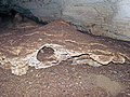 Altar Cave - travertine stalagmite (San Salvador Island, Bahamas) 4 (16392078825).jpg