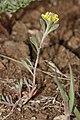 Alyssum desertorum 7702.JPG