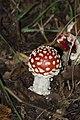 Amanita muscaria (5034325574).jpg