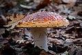 Amanita muscaria (fly Amanita) (11359192283).jpg