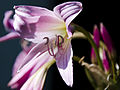 Amaryllis belladonna 1.jpg