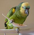 Amazona aestiva -pet eating from spoon-8a.jpg