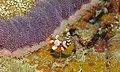 Ambonian Shrimp (Thor amboinensis) (6079526053).jpg