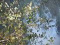 Amelanchier alnifolia (5066421956).jpg