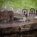 American Robin, bathing in the fountain, 02.jpg
