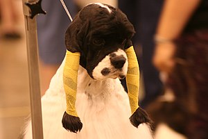 Show dog - An American Cocker Spaniel with its ears wrapped to protect the fur in grooming for a show