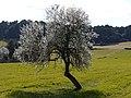 Ametller en flor - panoramio.jpg