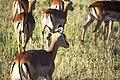 Among the impalas (16771150946).jpg