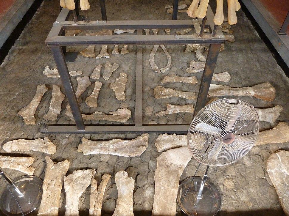 Ampelosaurus long bones