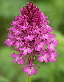 Anacamptis pyramidalis flowers.jpg