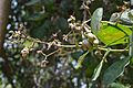 Anacardium occidentale - Digha - East Midnapore 2015-05-03 9998.JPG