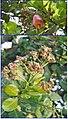 Anacardium occidentale Linn.jpg