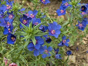 Lysimachia monelli - Blue pimpernel (Anagallis monelli), the Skylover cultivar)