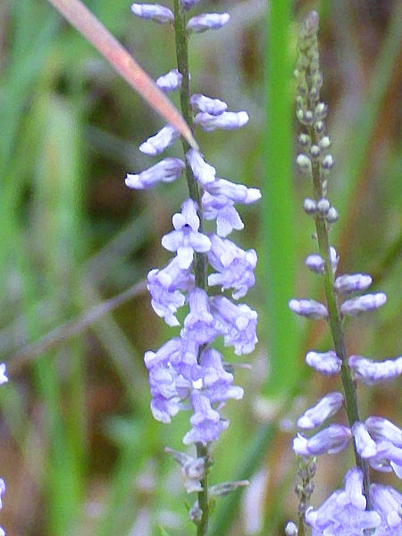 File:Anarrhinum bellidifolium Enfoque 2011-5-07 SierraMadrona.jpg