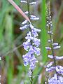 Anarrhinum bellidifolium Enfoque 2011-5-07 SierraMadrona.jpg