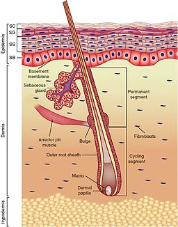 Dermis, epidermis, and subcutaneous layer - Anatomy of the skin, Integumentary system
