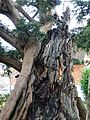Ancient yew Rotherfield TP26.jpg