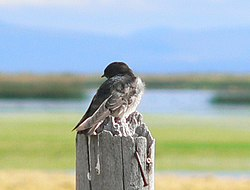 Andean Swallow.jpg
