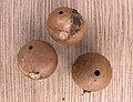 Andricus kollari, Oak marble gall, Knikkergal.jpg