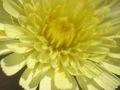 Andryala integrifolia flor.jpg