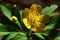 Anemone ranunculoides (6892685362).jpg