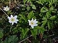 Anemonoides nemorosa 72633898.jpg