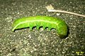 Angle shades caterpillar (BG) (6790898429).jpg