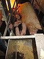 Animal Cruelty Iowa Select Farms IS 2011-05-27 03 (5840778991).jpg