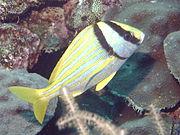 Anisotremus virginicus2