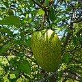 Annona glabra 06 - fruit on branch.jpg