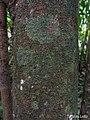 Annona montana, aticum - Flickr - Tarciso Leão.jpg