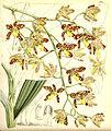 Ansellia africana - Curtis' 83 (Ser. 3 no. 13) pl. 4965 (1857).jpg