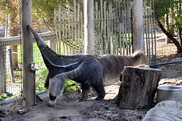 Anteater at Happy Hollow Park & Zoo.jpg