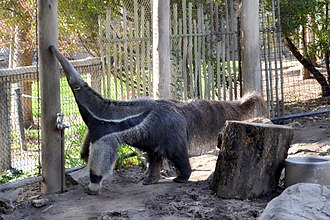 Happy Hollow Park & Zoo - Image: Anteater at Happy Hollow Park & Zoo