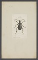 Anthia - Print - Iconographia Zoologica - Special Collections University of Amsterdam - UBAINV0274 010 16 0003.tif