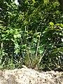Anthoxanthum odoratum sl15.jpg