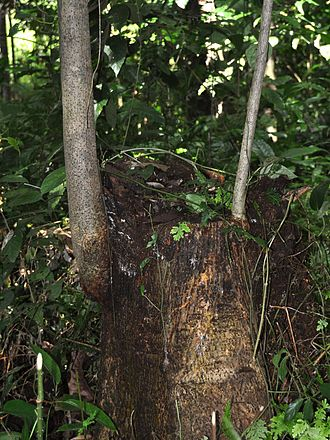Antiaris - Coppice, showing young bark