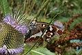Apatura iris - img 30178.jpg