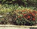 Aphelenchoides on Chrysanthemum (01).jpg